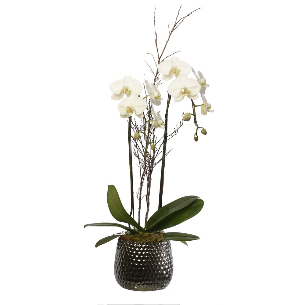 "White orcid 6"" Plant"