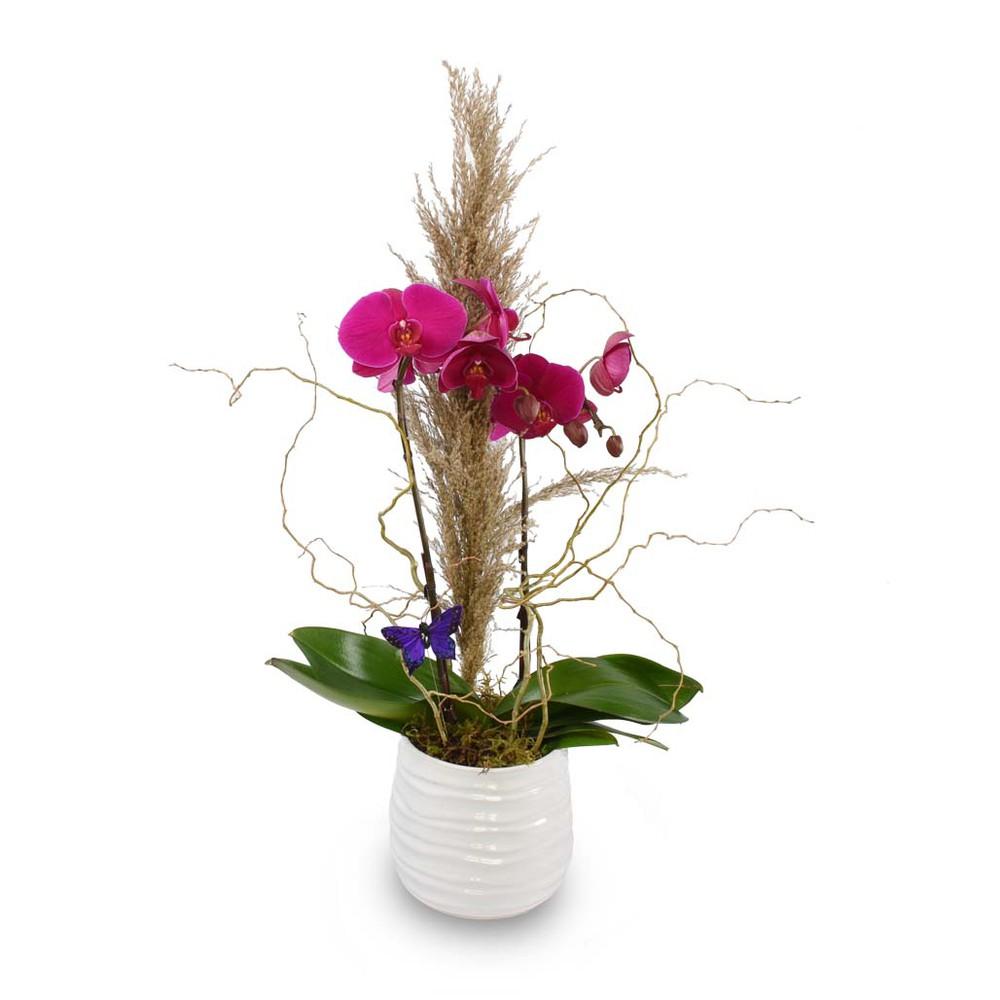 """Purple orchid 6"""" Plant"""