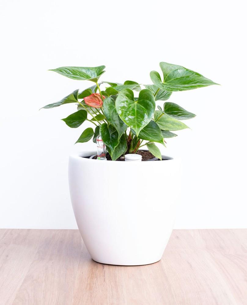 Anthurium en autorregante blanco