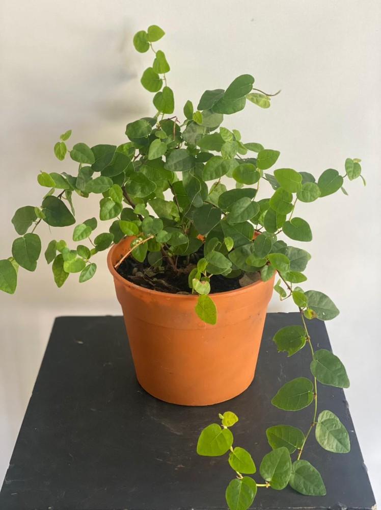 Ficus repens Alto 15 cm c/envase