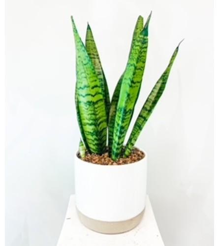 Sanseviera in a vase