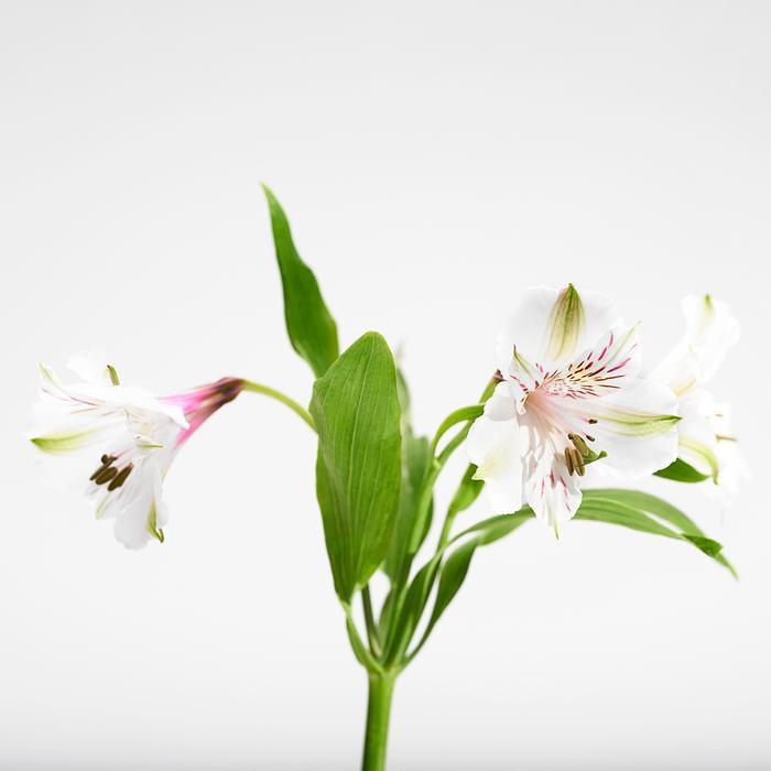 Alstroemeria blanca Ramo de 10 varas