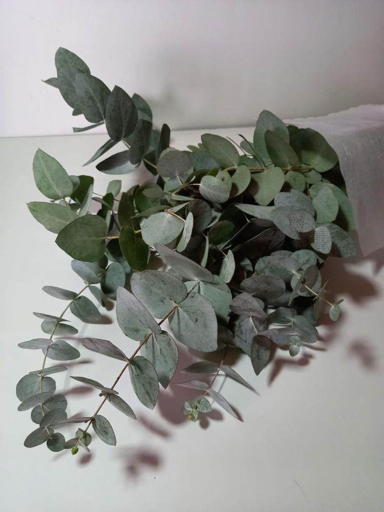 Eucaliptus 6 varas aprox