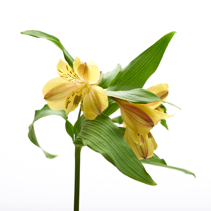 Alstroemeria amarilla 10 Varas
