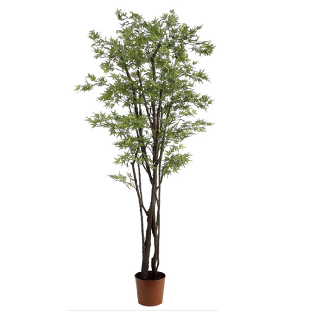 Planta maple japonica 1,83m