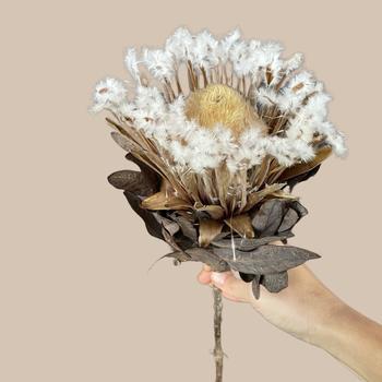 Protea mundii blanca