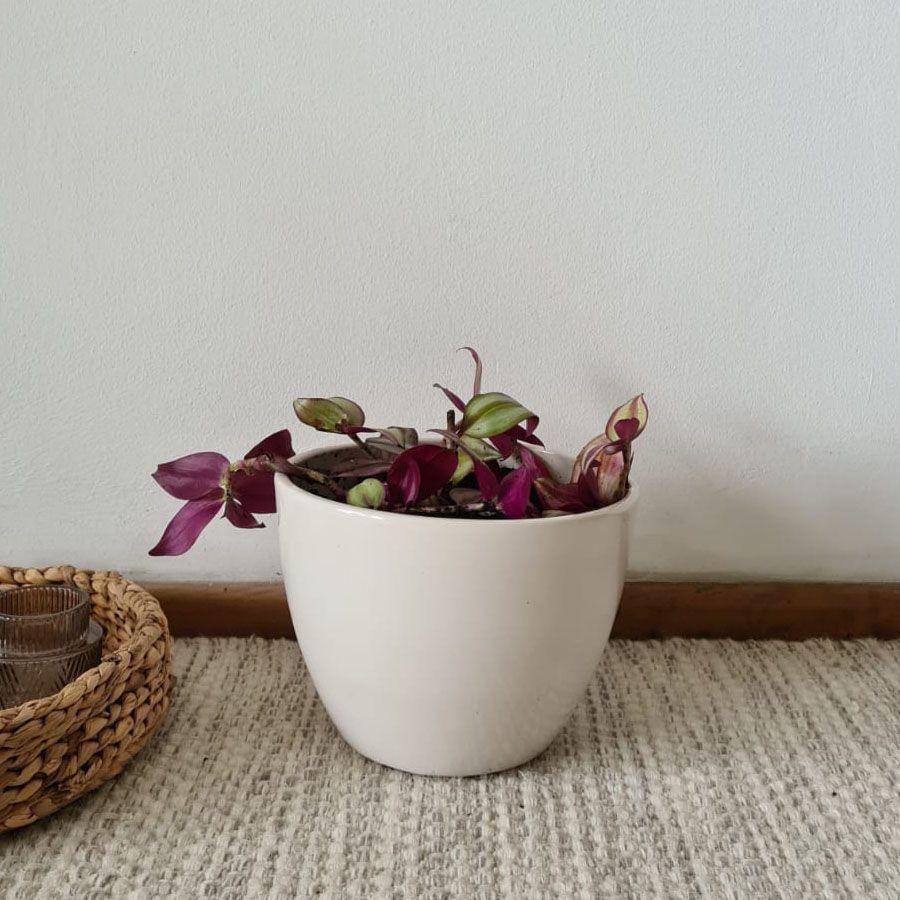 Tradescantia cerámica crema