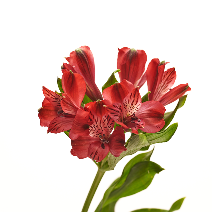 Alstroemeria roja 10 varas