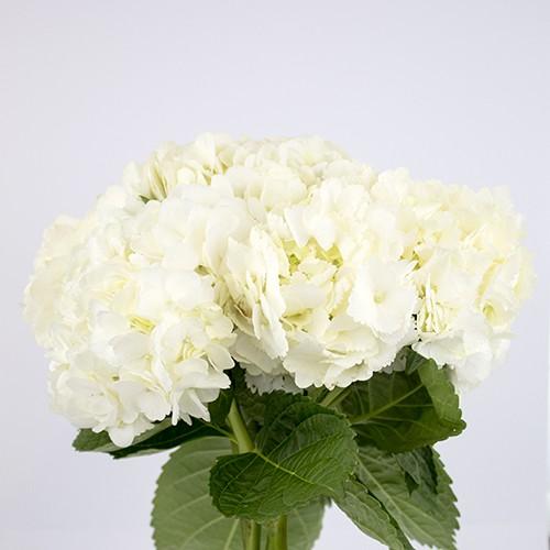 Hortensia blanca Capuchón celofán