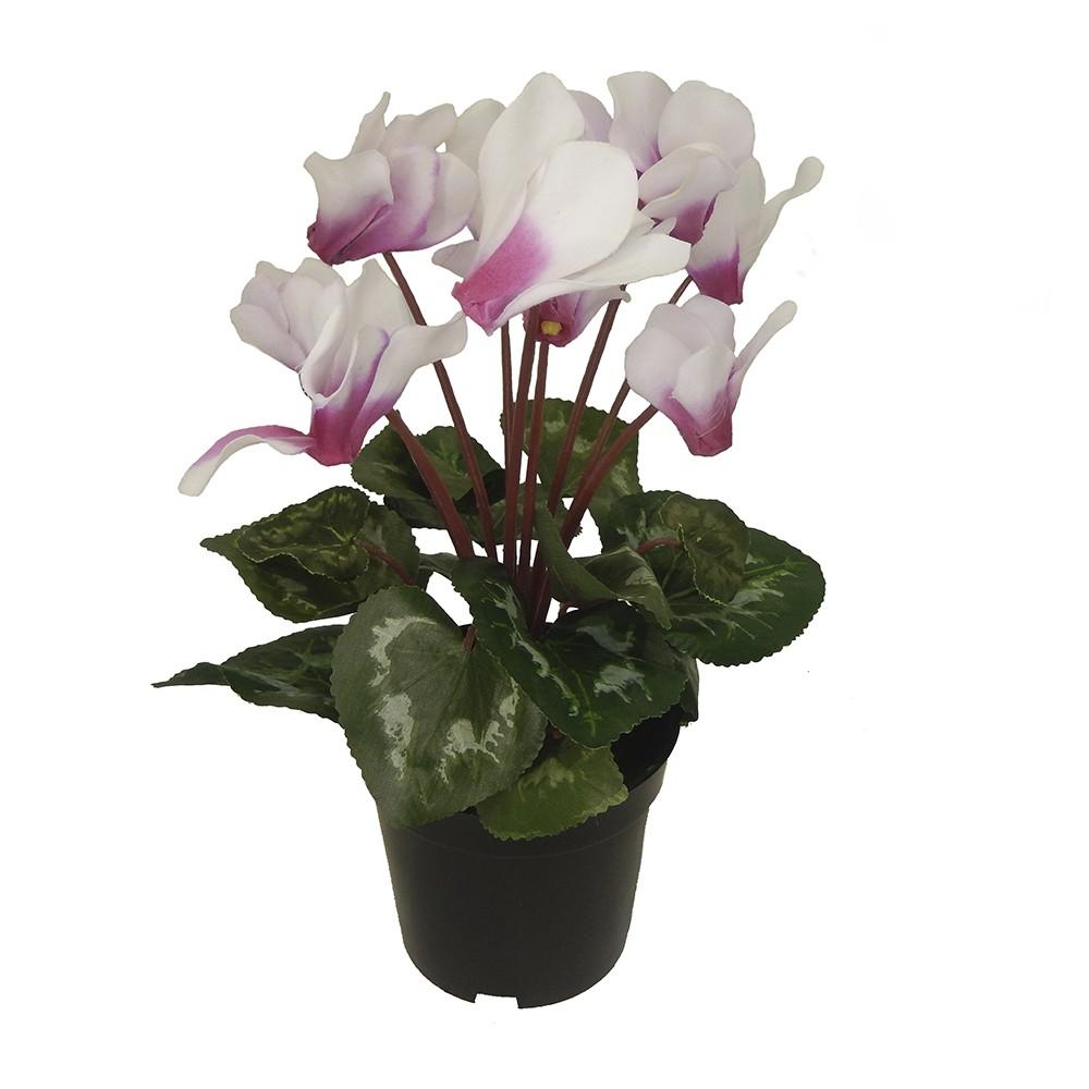 Planta cyclamen bicolor